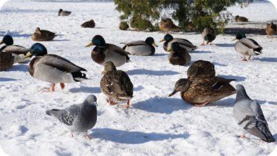 ポーランド観光個人ガイドワジェンキ公園鴨